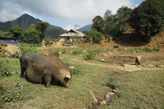 Cerdos, Sapa