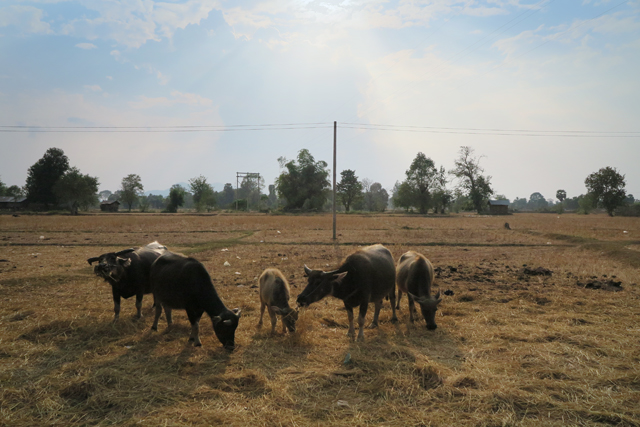 Búfalos de agua en los campos de arroz de Don Det. Si Phan Don, Laos.