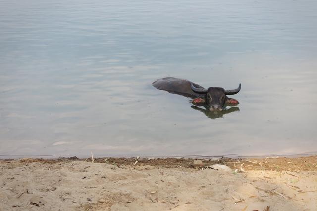 Búfalo de agua bañándose en el río Mekong cerca de la isla Don Det. Si Phan Don, Laos.