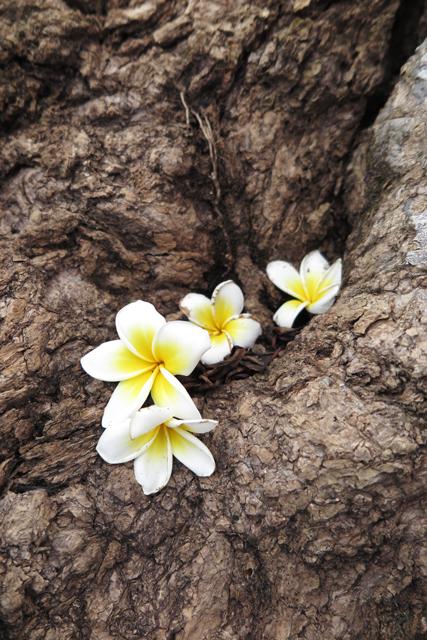Flores del frangipani, en Wat Phu. Champasak, Laos