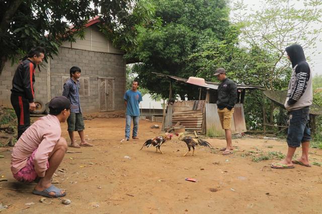 Pelea de gallos cerca de Vat Bannakham, Luang Prabang, Laos.
