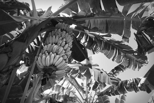 Bananenstaude, Laos.