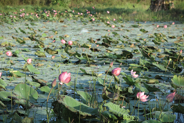 Lotusteich in Laos