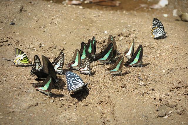 koriander-y-manta_Bolaven_TadTayicsua_Butterfly