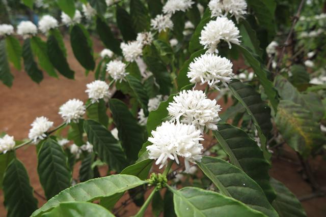 Kaffeepflanze in Blüte. Bolaven Plateau, Laos.